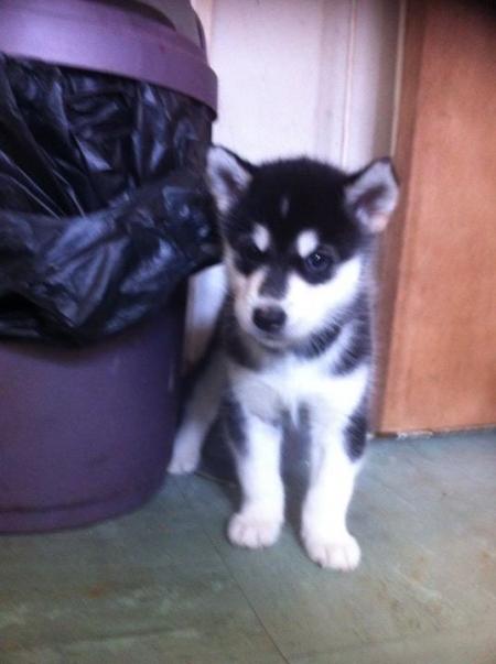 Considerate Alaskan Malamute Puppies for Sale