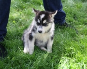 courageous Alaskan Malamute puppies for sale