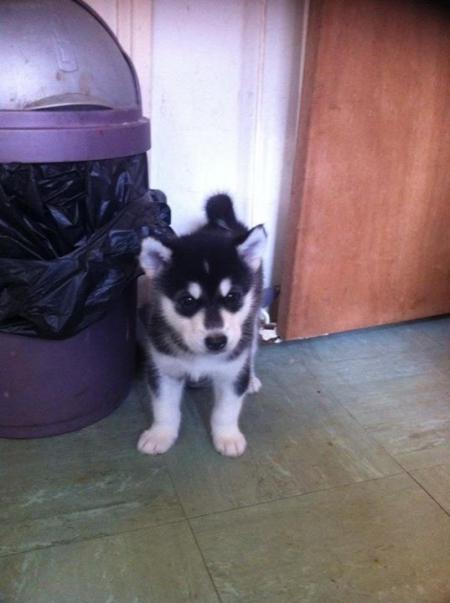 Fearless Alaskan Malamute Puppies for Sale