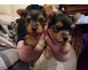 Mf Yorkie Puppies to Good and Forever Homes