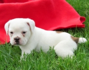girls and boy English Bulldog puppies 406xx272x3325