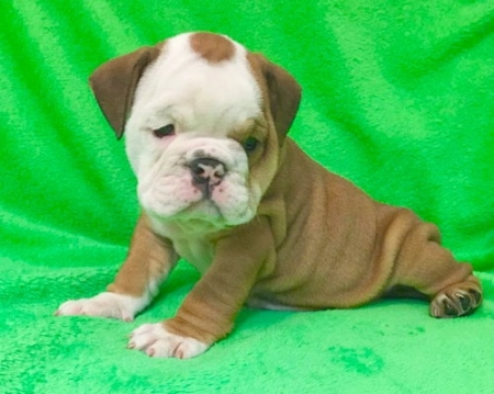 Uluis English Bulldog Puppies 406xx272x3325