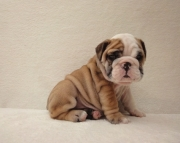 khgffghgb English Bulldog puppies 406xx272x3325