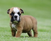 Active English Bulldog puppies 406xx272x3325