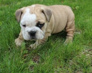 Cavassa English Bulldog puppies 406xx272x3325
