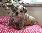 all freshness  English Bulldog puppies 406xx272x3325