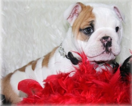 Bgcytgctt English Bulldog Puppies 406xx272x3325
