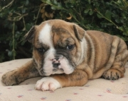 good looking English Bulldog puppies 406xx272x3325