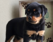 czc  Rottweiler puppies for sale