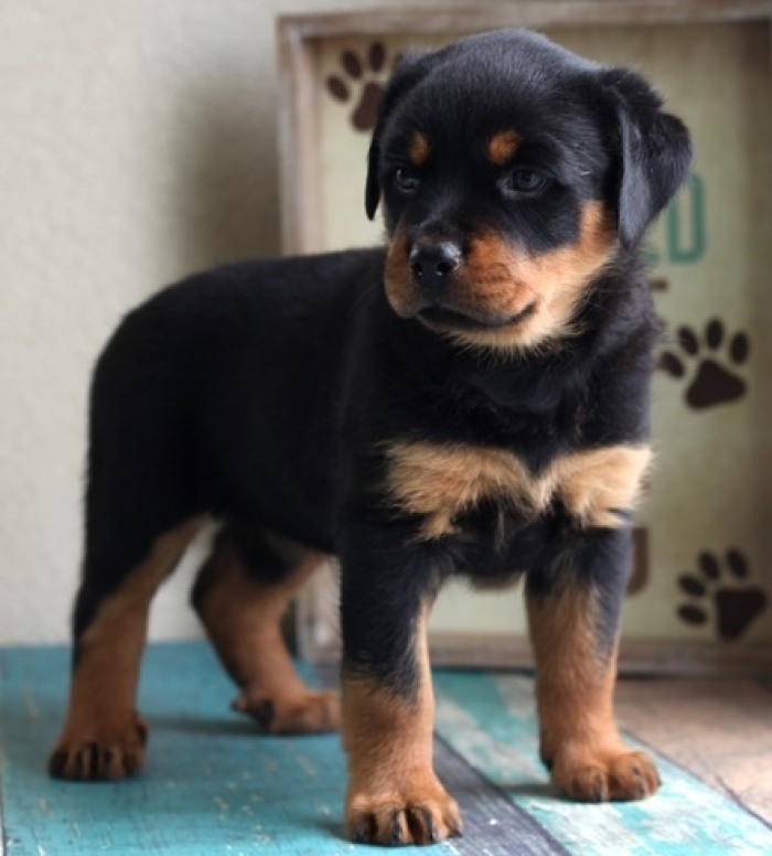 Gfb Fs Rottweiler Puppies for Sale | Handmade Michigan
