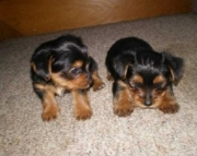 Young teacup Yorkies, (318) 414-0896