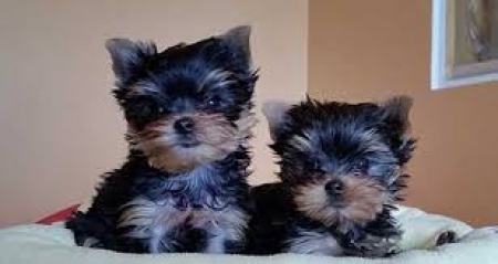 Cute Yorkie Puppies (318) 414-0896