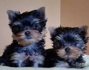 Sweet Yorkie puppies (318) 414-0896