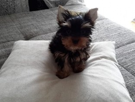 Baby Yorkies Puppies