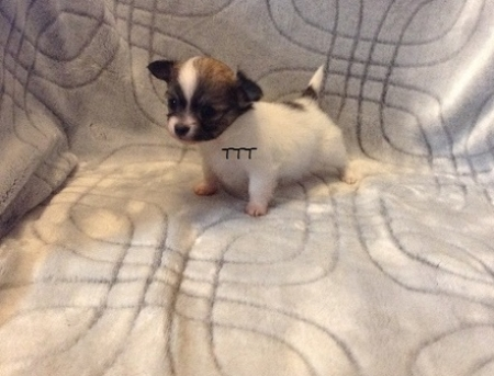 Sdav Chihuahua Puppies for Sale