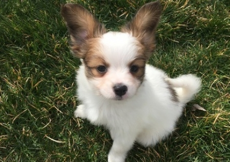 Promised Homely Puppies for Sale