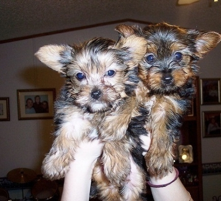 Two Teacup Yorkie Puppies Ready