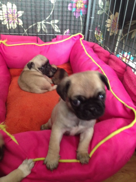 Male and Female Pug Pups