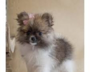 Pomeranian puppies available