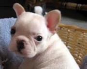 socialized French Bulldog puppies for sale