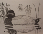 Redhead Duck Drawing
