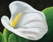 5x7 matted art print for an 8x10 frame, White Calla Lily Flower