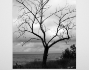 Lake Michigan Shore Line Solo Tree at Little Sable Light House 8x10 Black & White photo