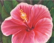 5x7 matted art print for an 8x10 frame, Pink Hibiscus Flower