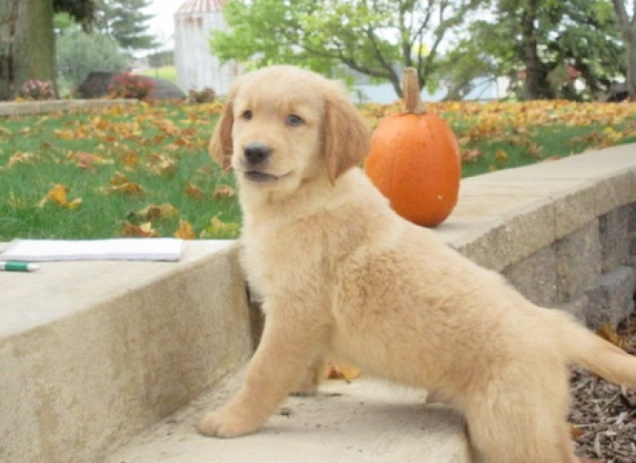 golden retriever mix puppies for sale in michigan fdfvvc golden retriever puppies for sale handmade michigan 2075