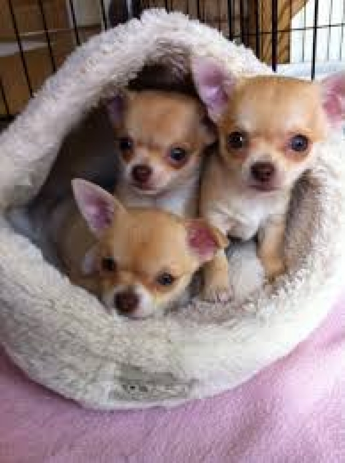 chihuahua puppies michigan chihuahua puppies for sale handmade michigan 6583